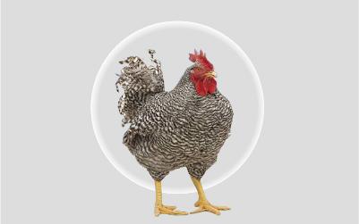 萨索肉鸡T88
