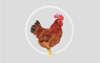 萨索肉鸡C44