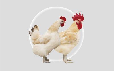 红标土鸡(父母代)