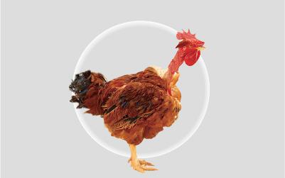 萨索肉鸡XL44N